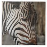 Zebra, close-up tile