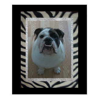 Zebra English Bulldog Puppy poster