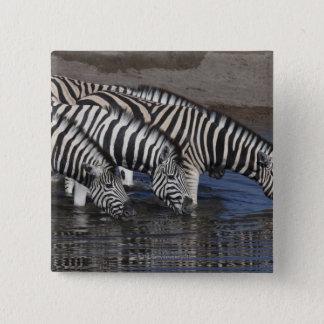 Zebra (equus quagga) drinking at a waterhole in button