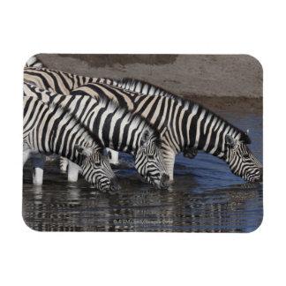 Zebra (equus quagga) drinking at a waterhole in magnet