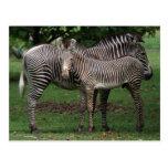 Zebra Family Post Cards