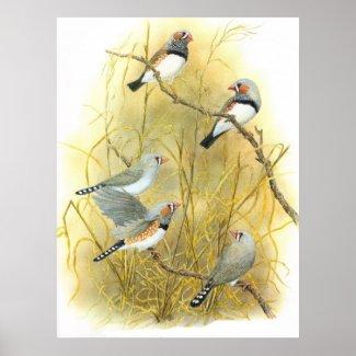 Zebra Finch Group - Taeniopygia guttata Print