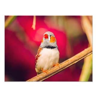Zebra Finch Pink Background Photo Print
