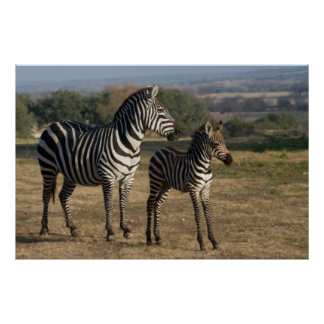 Zebra Foal and Mother Poster