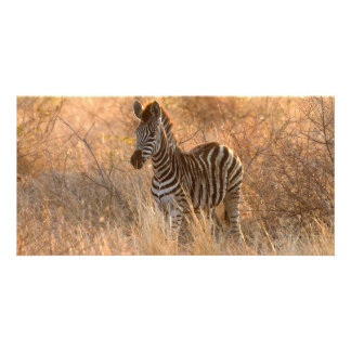 Zebra foal in morning light card