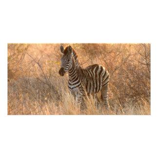 Zebra foal in morning light card