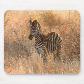 Zebra foal in morning light mouse pad