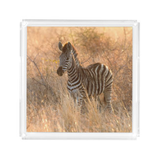 Zebra foal in morning light square serving trays
