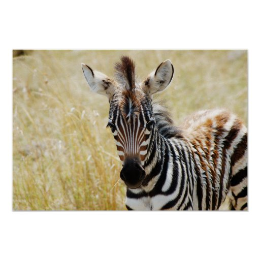Zebra foal stripes baby photography posters