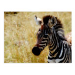 Zebra Foal wildlife postcards