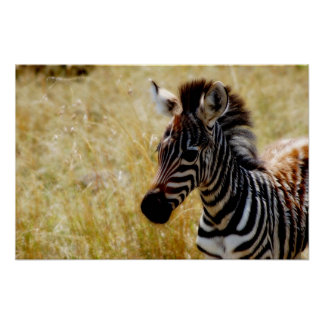 Zebra foal wildlife posters, prints, pictures