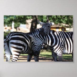 Zebra Friends Poster