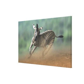 Zebra galloping over the desert landscape. stretched canvas print