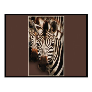 Zebra greeting cards - postcards