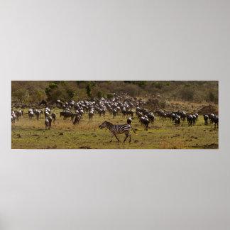 Zebra in a sea of wildebeest posters