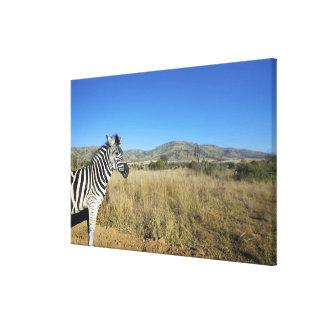 Zebra in open plain, Pilansberg National Park, Canvas Print