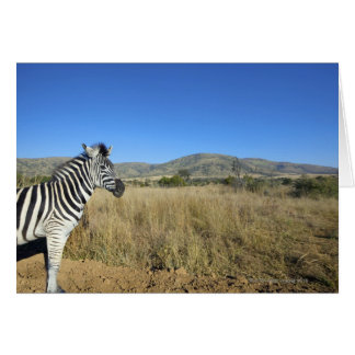 Zebra in open plain, Pilansberg National Park, Greeting Card