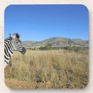 Zebra in open plain, Pilansberg National Park, Beverage Coaster