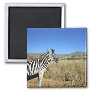 Zebra in open plain, Pilansberg National Park, Magnets