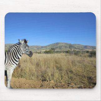 Zebra in open plain, Pilansberg National Park, Mouse Pad
