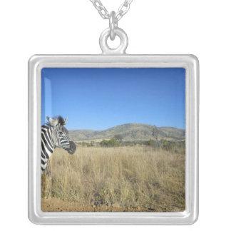 Zebra in open plain, Pilansberg National Park, Jewelry