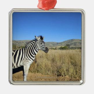 Zebra in open plain, Pilansberg National Park, Square Metal Christmas Ornament