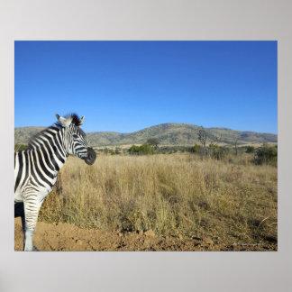 Zebra in open plain, Pilansberg National Park, Posters