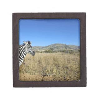 Zebra in open plain, Pilansberg National Park, Premium Trinket Box