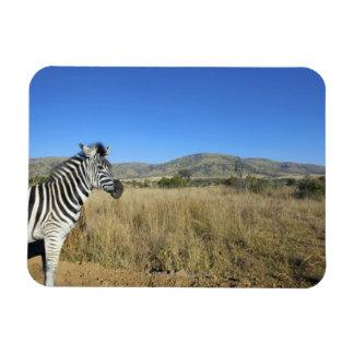 Zebra in open plain, Pilansberg National Park, Rectangular Magnet