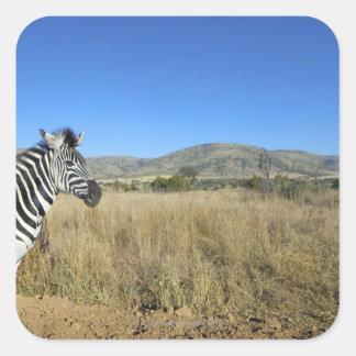 Zebra in open plain, Pilansberg National Park, Square Sticker
