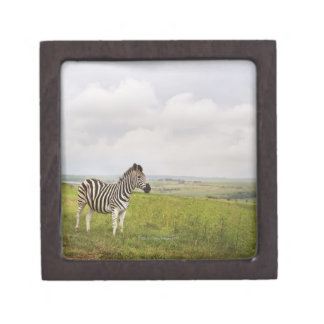Zebra in the countryside, South Africa Gift Box