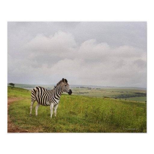 Zebra in the countryside, South Africa Poster