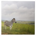 Zebra in the countryside, South Africa Large Square Tile