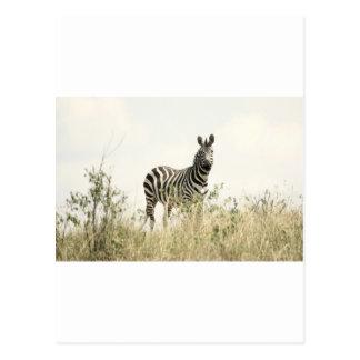 Zebra in the Nature Postcard