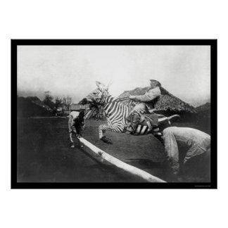 Zebra Jumping a Fence in Africa 1904 Poster