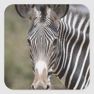 Zebra, Kenya, Africa Square Sticker