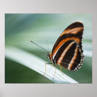 Zebra Long Wing Butterfly Poster