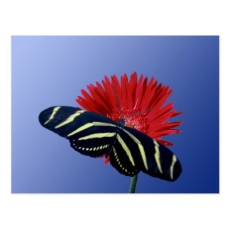 Zebra Longtail on a Daisy Postcard