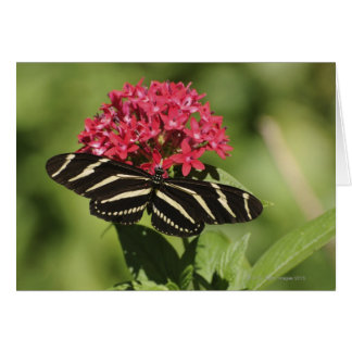 Zebra longwing butterfly, Heliconius Greeting Card