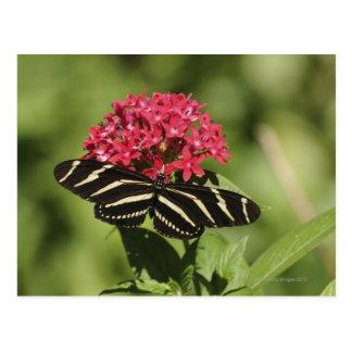 Zebra longwing butterfly, Heliconius Postcard