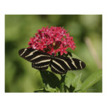 Zebra longwing butterfly, Heliconius Poster