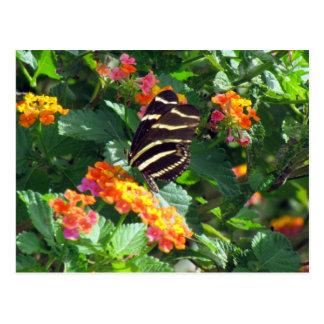 Zebra Longwing Butterfly on Lantana Postcard