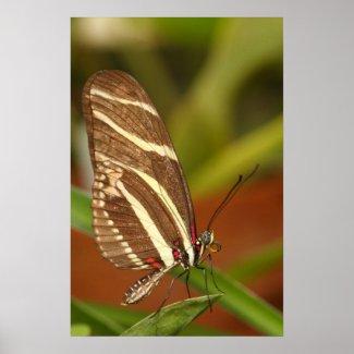 zebra longwing butterfly print