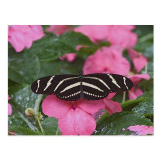 Zebra Longwing, Heliconius charitonius Postcard