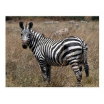 zebra look postcard