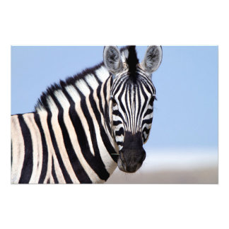Zebra looking at you photo print