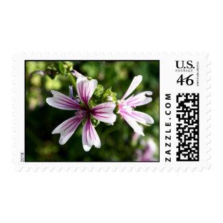 Zebra Mallow (malva sylvestris) Stamp