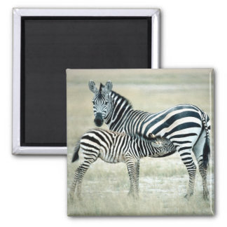 Zebra Mother and Feeding Foal Magnet