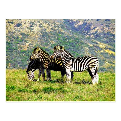 Zebra Mountain Postcard
