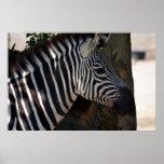 Zebra of Africa Posters